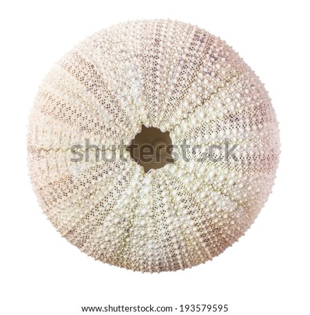 Sea urchin shell isolated on white background. Selective focus with shallow depth of field.  - stock photo