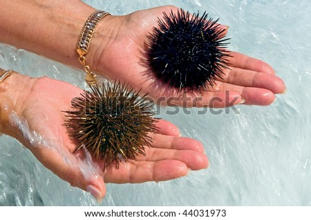 Sea urchins on palms of hands - stock photo