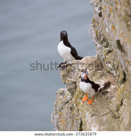 Seabirds, a puffin and razorbill perched on a rock. - stock photo