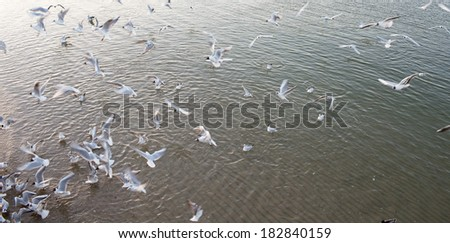 Seabirds in the waters of the Gulf of Gdansk.