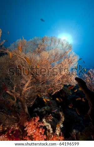 Seafan and fish in the Red Sea.