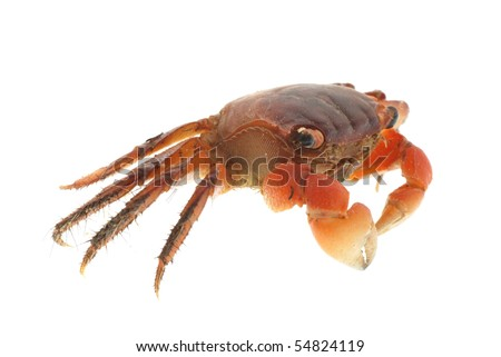 seafood animal red crab isolated on white - stock photo