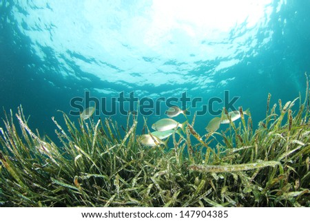 Seagrass and Fish underwater - stock photo