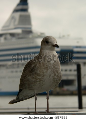 Seagul in front of Cruise liner in Helsinki harbour, Finland. - stock photo