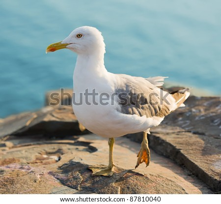 seagul posing on a rock - stock photo