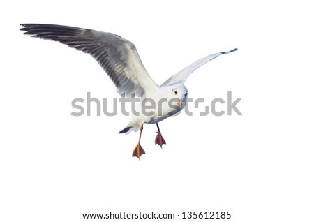 seagull action isolated on white background. - stock photo