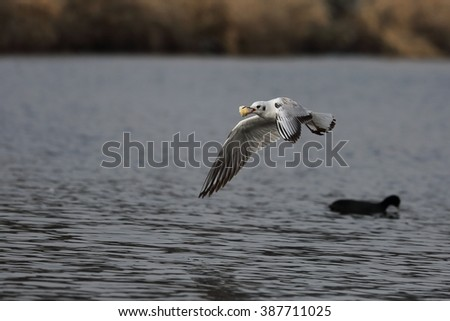 Seagull after winning a fight for food. - stock photo