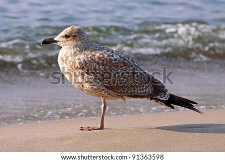 seagull at Baltic Sea - stock photo