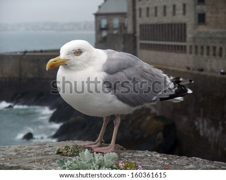 seagull at Saint-Malo, a port city in northwestern France - stock photo