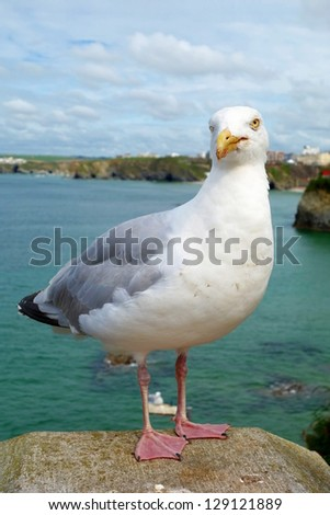 Seagull bird close up in Newquay, Cornwall UK. - stock photo