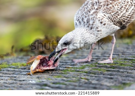 Seagull eating dead fish head on a pier - stock photo