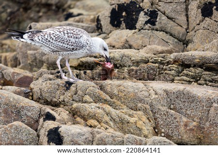 Seagull eating dead fish head on the rocks - stock photo