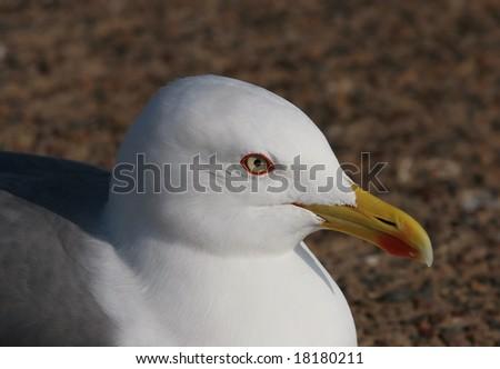Seagull. Essaouira, Morocco, Africa. - stock photo