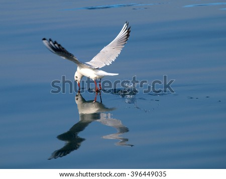 seagull  fishing  and splashing water surface      - stock photo
