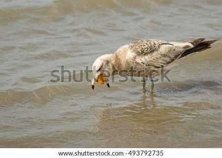 Seagull fishing in the lagoon