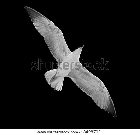 Seagull floats above Venice, Italy (black and white) - stock photo