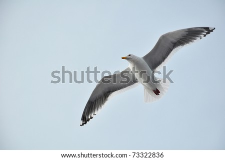 Seagull fly in the sky - stock photo