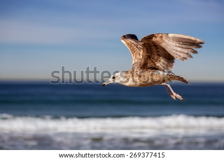 Seagull flying and crying on the hermosa beach, California, USA  - stock photo