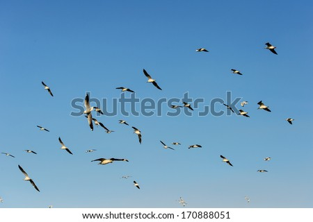 Seagull flying and look for food on blue sky over the coast of bangpoo thailand  - stock photo