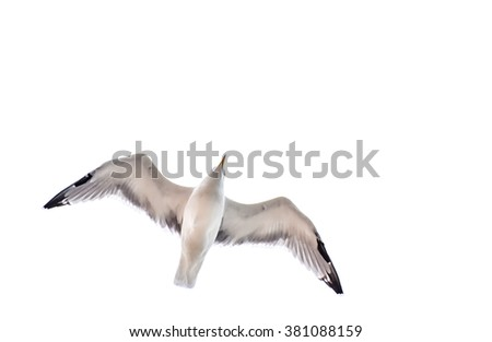 Seagull flying, gliding or soaring in the nature, in the sky isolated on white - stock photo