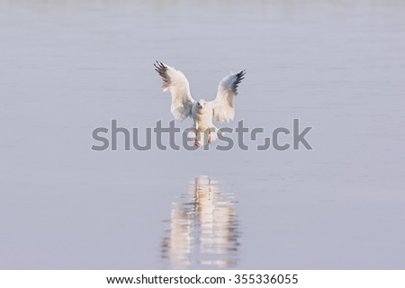 Seagull flying over a lake, reflected in water - stock photo