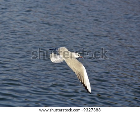 Seagull flying over the blue waves - stock photo