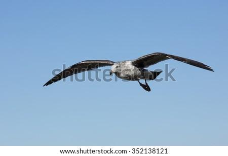 Seagull flying over the coastline of La Jolla California - stock photo