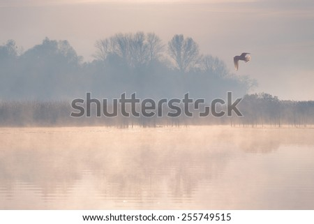 Seagull flying over the misty morning river. - stock photo