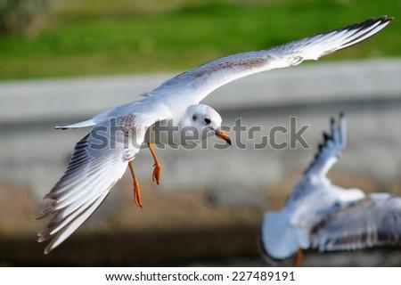 Seagull Flying,Seagull, Gull, Flight, Fly,Seagull Landing, Bird - stock photo