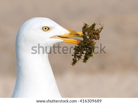 Seagull gathering moss for a nest. - stock photo