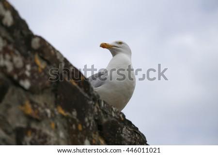 seagull, gull, close up, beak, curiosity, port, - stock photo