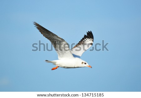 Seagull in blue sky background
