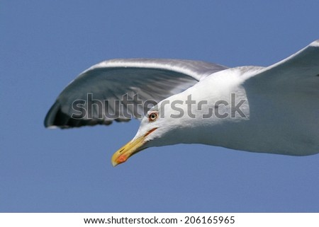 Seagull in flight against blue sky, close-up - stock photo