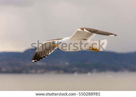 Seagull in flight at the sea shore
