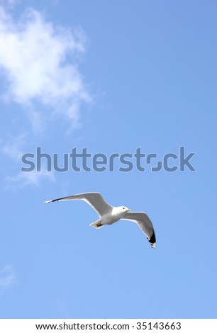 Seagull In Flight on blue sky one