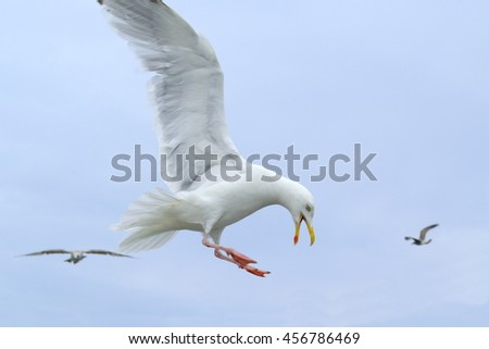 Seagull in flight with open beak and spread wings - stock photo