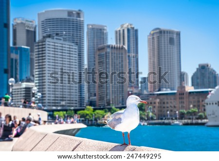 Seagull in front of Sydney harbor city in suny day. Australia. - stock photo