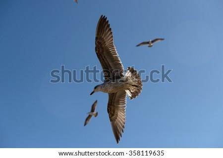 seagull in Morocco in nice city Essaouira  - stock photo
