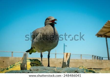 seagull in san cristobal galapagos islands ecuador - stock photo