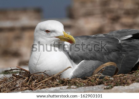 Seagull in the nest - stock photo