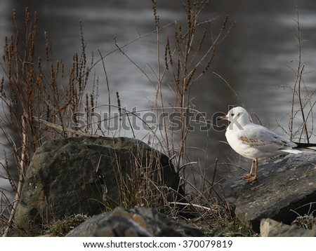 Seagull in the winter. - stock photo