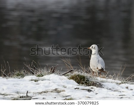 Seagull in the winter - on the snow. - stock photo