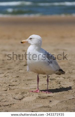 Seagull is standing on sandy beach near North sea in Zandvoort, the Netherlands