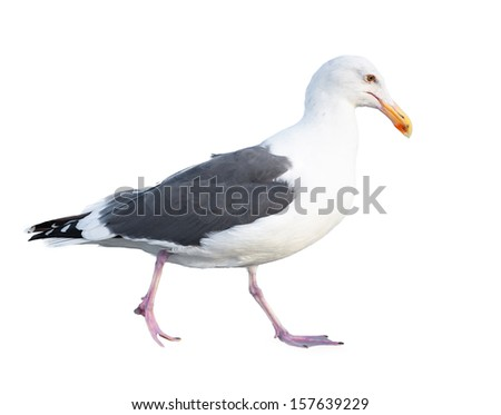 Seagull Isolated on a White Background - stock photo