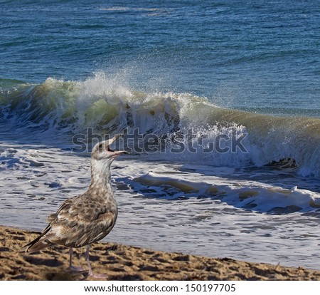 Seagull (juvenile) screaming on oceanside with wave in background