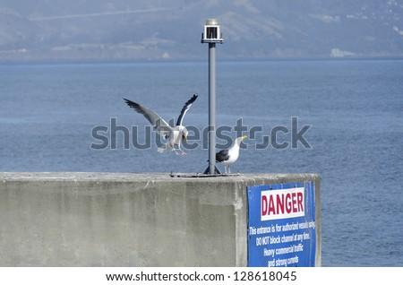 Seagull landing at pier 39 in San Francisco - stock photo