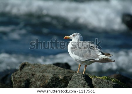 Seagull looking at the waves in beach