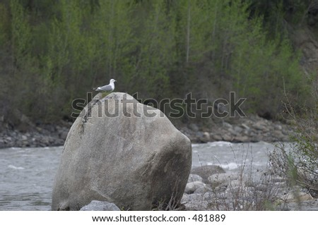 Seagull on a boulder in Alaska - stock photo