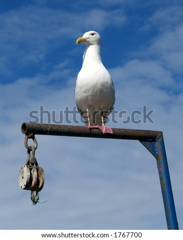 Seagull on a Fish Scale, Homer, AK - stock photo