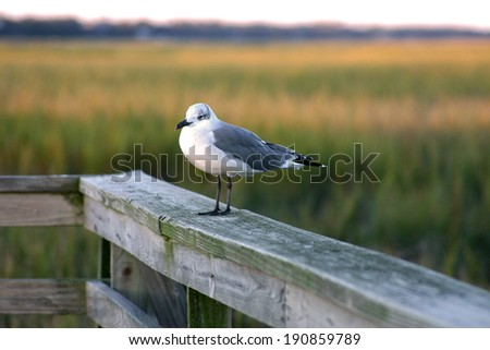 Seagull on dock in Murrells Inlet South Carolina creek and marsh grass in background - stock photo